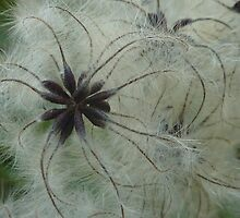 Wild Clematis  by LindyLouMac