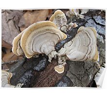 Shelf Fungus on Oak Poster