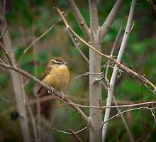 Carolina Wren by Joe Jennelle