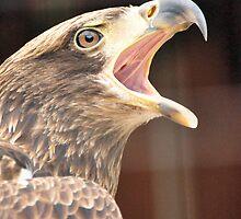 Juvenile Bald Eagle ( Haliaeetus Leucocep ) by Jeff Ore