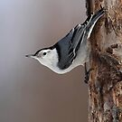White-breasted Nuthatch Classic Pose by Bill McMullen