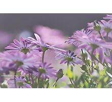 Summer Daisies Photographic Print