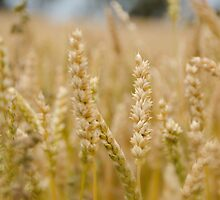 Wheat Fields by KarynMitchell
