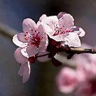 Spring pink by Celeste Mookherjee