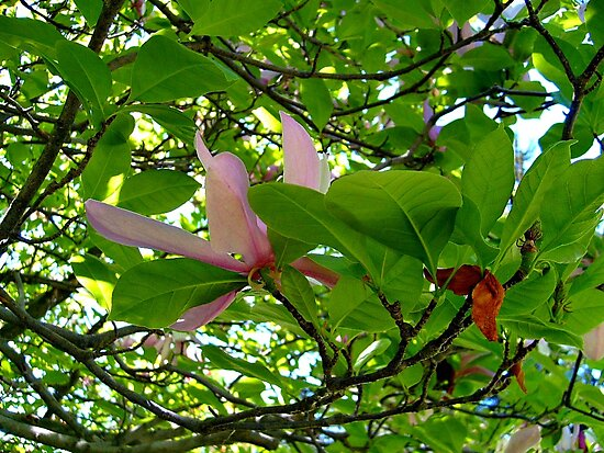 Surrounded By Magnolia Leaves by Jane Neill-Hancock
