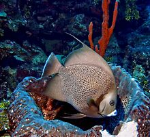 Caribbean Grey Angel Fish along a Coral Reef  by Amy McDaniel