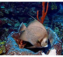 Caribbean Grey Angel Fish along a Coral Reef  Photographic Print