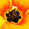 Heart of a Tulip ~ Macro Shot of Stamen & Pistil ~ Yellow Orange Flower Outdoors ~ Flora Photography by Chantal PhotoPix