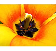 Heart of a Tulip ~ Macro Shot of Stamen & Pistil ~ Yellow Orange Flower Outdoors ~ Flora Photography Photographic Print