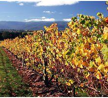 Autumn vines, Yarra Valley by Chris Livingstone