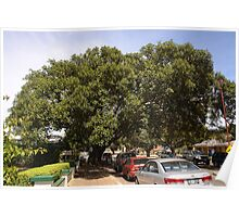 Fig Trees Poster