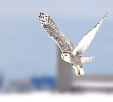Along a country road - Snowy Owl by Jim Cumming