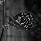 Butterflies by nicholas stewart