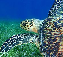 Hawksbill Turtle 4 by Leon Heyns