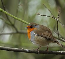 Plump Robin by Ian Marshall
