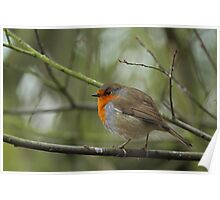 Plump Robin Poster