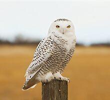 snowy owl by jsbb123