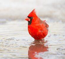 cardinal wade by jamesmcdonald