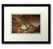 taipan in pose Framed Print