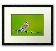 Female Eastern Bluebird Framed Print