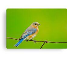 Female Eastern Bluebird Canvas Print