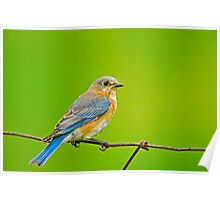Female Eastern Bluebird Poster