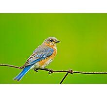 Female Eastern Bluebird Photographic Print