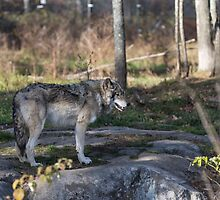 A lone timber wolf in the woods by Josef Pittner