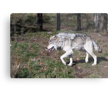 A lone timber wolf in the woods Metal Print