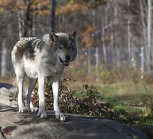 Timber wolf in the woods by Josef Pittner