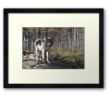 Timber wolf in the woods Framed Print