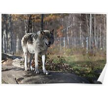 Timber wolf in the woods Poster