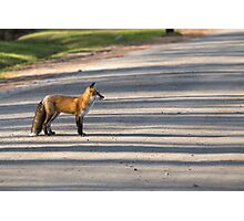 A wild Red Fox Photographic Print