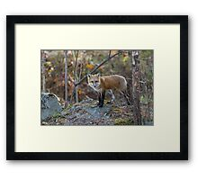 A lone Red Fox in the woods Framed Print