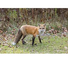 A lone Red Fox Photographic Print