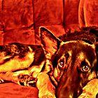 German Shepherd- HDR by DontBlink182