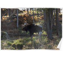 Large Moose in the woods Poster