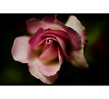 a precious little rose Photographic Print