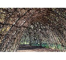Giant Willow Maze At Abbotsbury Swannery, Dorset Photographic Print