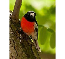 """Scarlet Robin"" Photographic Print"