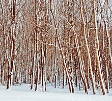 Birches in winter by Paul Richards