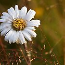 Alpine Daisy by Will Hore-Lacy