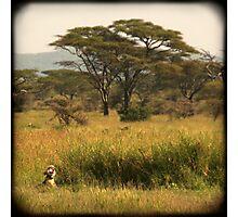 Yawning lion, Serengeti Photographic Print