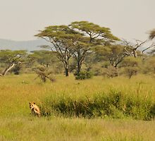 Prowling wild  lion, Serengeti national park, Tanzania by Catherine Ames