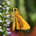 Firey Skipper Moth by Kathy Baccari