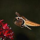 Tersa Shinx Moth  by Kathy Baccari