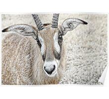 Young Gemsbok (Oryx Gazella) Poster