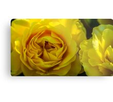 Yellow Rose in Bloom Metal Print