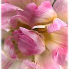 Close-up of a Soft and Frilly Pink &amp; White Tulip ~ Pretty Spring Flower in Bloom by Chantal PhotoPix