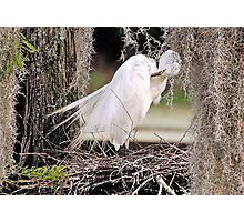 Great White Egret Nesting In The Spanish Moss Photographic Print